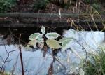 feuilles bicolores copie.jpg