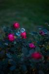 Sophie -Des bulles et des roses